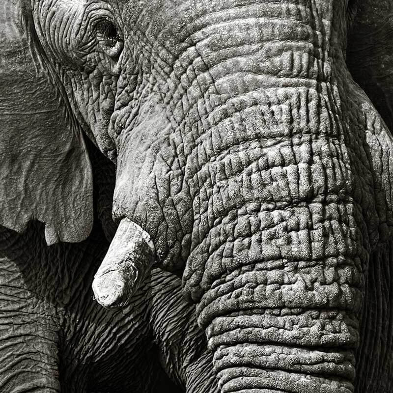 Bien connu elephant noir et blanc WE75